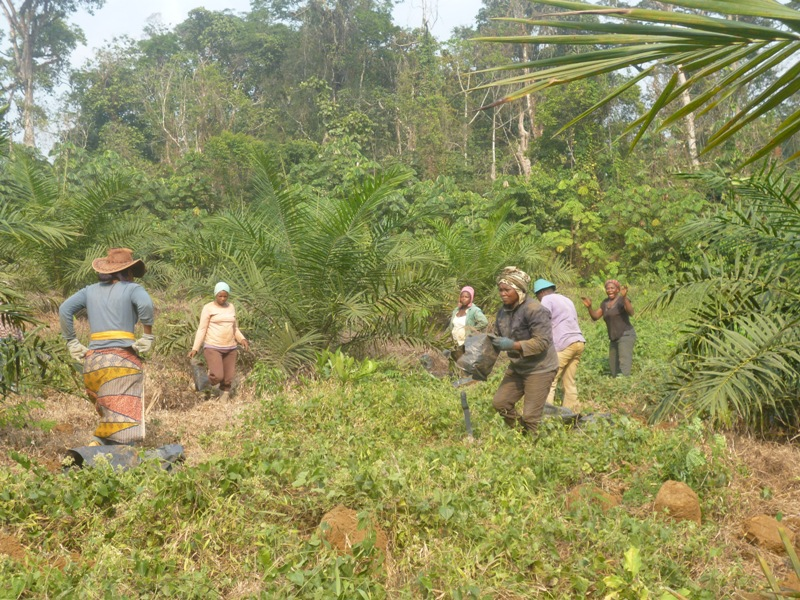 Herakles Farms workers in the Southwest Region of Cameroon. Photo/Elias Ngalame