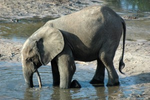 There has been a dramatic decline of elephant populations in Africa.