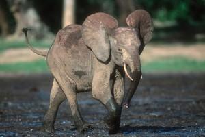 elephant_7_500051