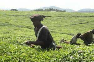 Kayonza Growers Tea Factory, Uganda are among the 21 winners.