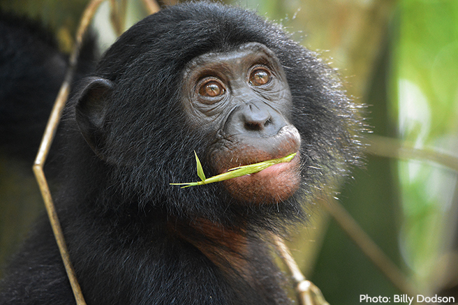 3,000 great apes are lost from the wild every year; over 70% of all great ape seizures are orangutans.