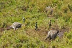 Le 14 mai 2014, des employés du parc de la Garamba découvraient les restes d'éléphants tués par des braconniers. Les gestionnaires du parc indiquaient à l'époque que 68 éléphants avaient été tués en deux mois. PHOTO ARCHIVES AFRICAN PARKS/AP
