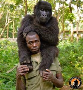 Il est reconnu, notamment, pour l'observation des gorilles de montagne en milieu naturel, l'ascension au volcan Nyiragongo et au Mont Ruwenzori. Photo/Virunga Park