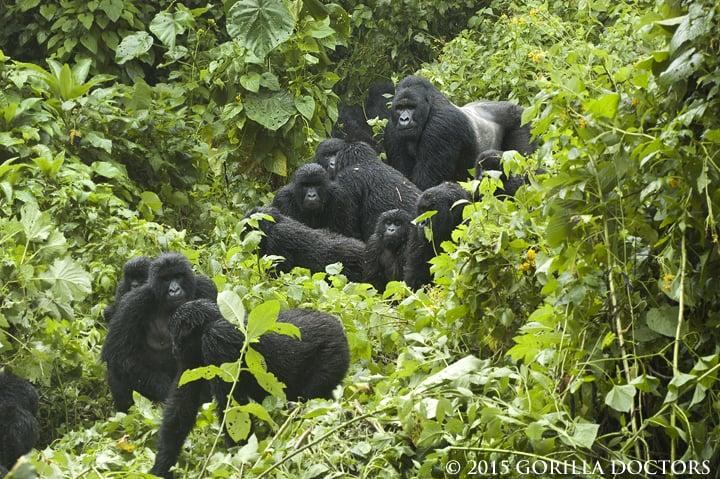 Créé en 1925, et étendu sur 790.000 hectares, la Virunga est le plus ancien des parcs nationaux d'Afrique. Photo/Gorilla Doctors
