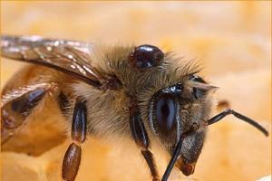 AbeilleVarroa-En Asie V. destructor est un parasite anodin d'Apis cerana...