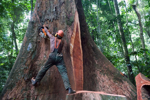 A lumberjack team at work on the felling of a giant Kevazingo tree in eastern Gabon in the concession given to Precious Woods. Harvesting is based on FSC (Forestry Stewardship counsel) principles of sustainable forest management which include directional felling as is applied here to minimizes the impact of the fall on the surrounding forest. Despite all the precautions lumberjack remains one of the most dangerous jobs in the world.
