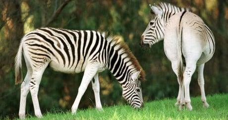 Les premiers zèbres dont l'ADN a été modifiée dans le cadre du Quagga Project en 1998. Crédit photo: Reuters