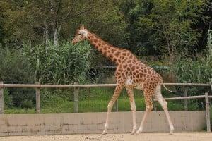 Giraffe-Kordofan-giraffe-4