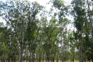 eucalyptusmogode