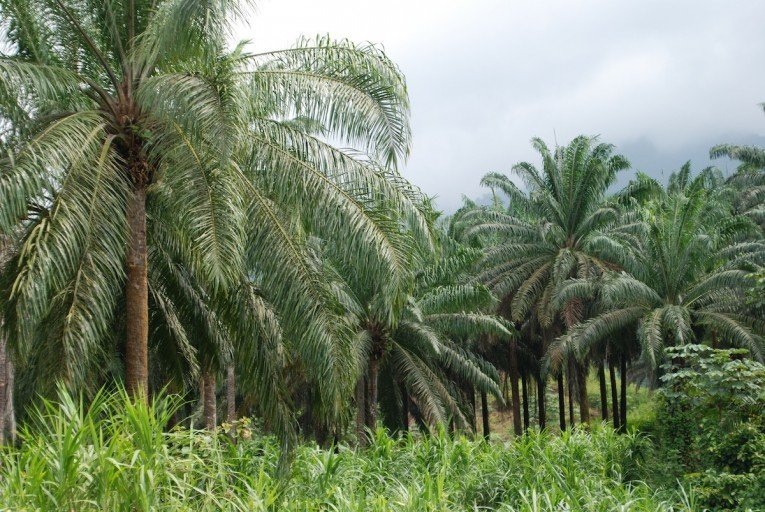 Seven African nations signed a pledge dedicating themselves to the sustainable development of the palm oil sector, known as the Marrakesh Declaration, at the UN climate talks in Marrakesh, Morocco last November.
