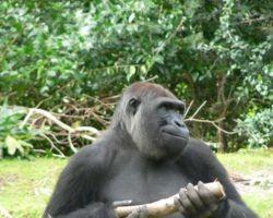 Un gorille dans la réserve de Dja