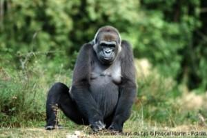 Un gorille dans la réserve de faune de Dja