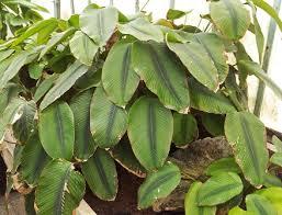feuilles de jonc