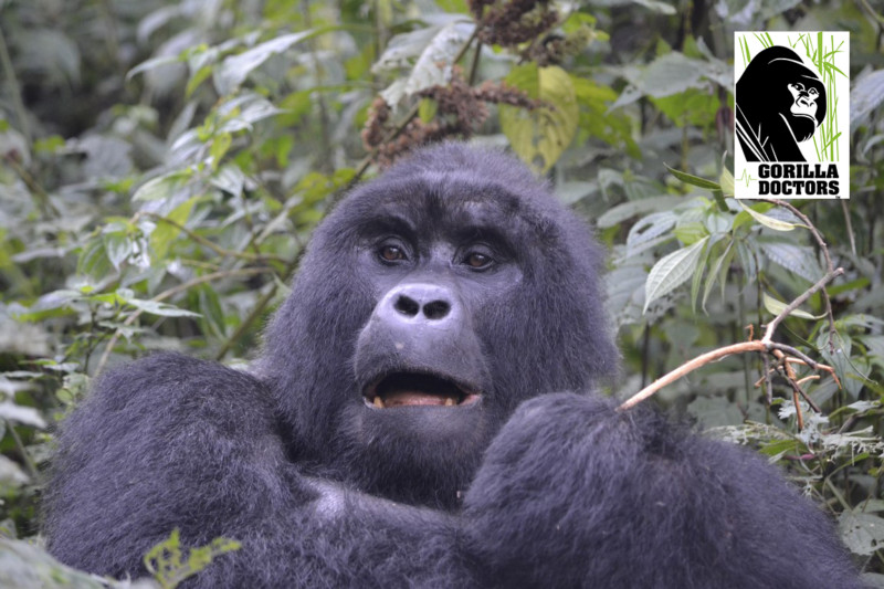 Rukara. Photo credit/Gorilla Doctors