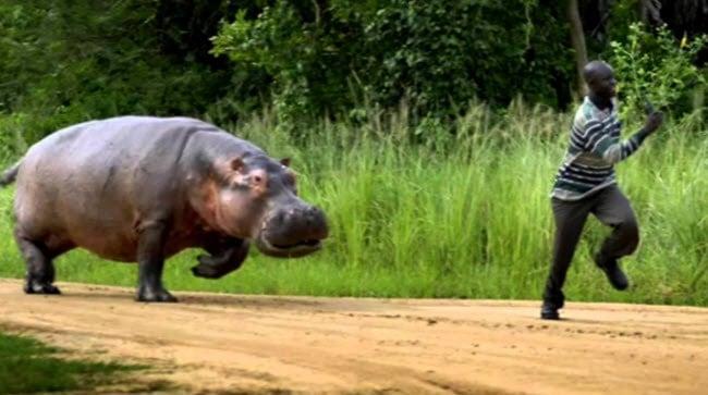Un hippopotames poursuit un homme à Uvira