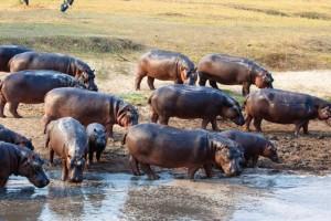 Hippopotames sur le Lac Tanganyika
