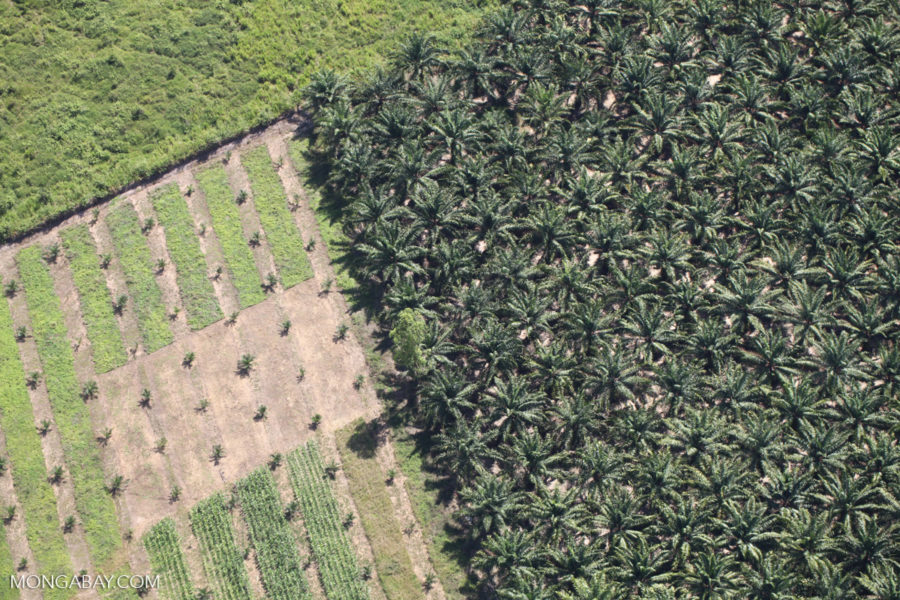 An oil palm plantation in Sabah, Malaysian Borneo. Photo by Rhett Butler.