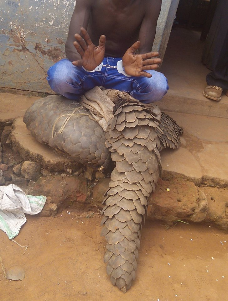 Arrested with pangolin. Photo credit EAGLE