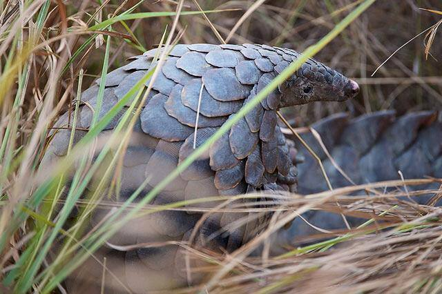 According to the Convention on International Trade in Endangered Species of Wild Fauna and Flora (CITES), Pangolins are among the most trafficked mammals in the world. Photo credit/EAGLE
