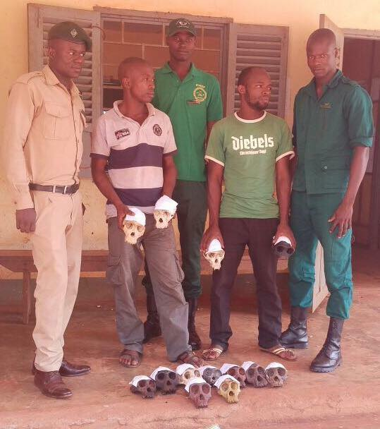 Two men aged 35 and 25 who usually supplied ape meat to buyers in Abong Bang and Yaounde were arrested in possession of twelve chimpanzee skulls on June 9, 2016. Photo credit/EAGLE