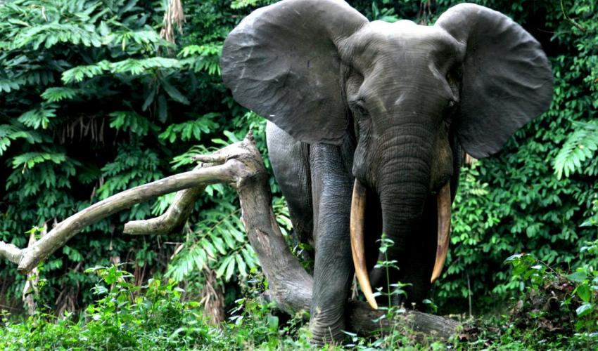 Forest elephant along a river conkouati douli National park in the Republic of Congo. Photo credit/Hilde Vanleeuwe