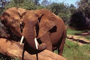 Sur la base d'estimations provenant d'un large éventail de sources – relevés aériens et comptage des crottins d'éléphant – le nombre d'éléphants estimé en 2015 est inférieur de 93 000 à celui de 2006. Photo/Julian Blanc