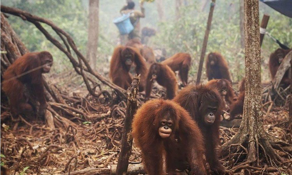 orangutans-fire-main-1-e1470208231757
