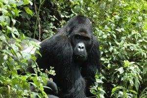 Un gorille oriental - IUCN