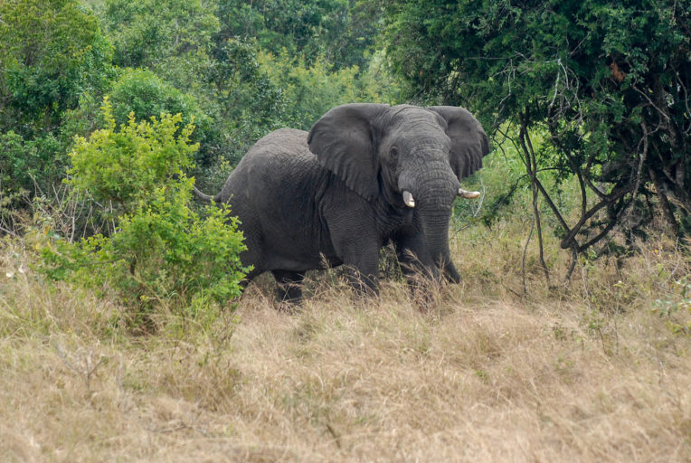 Forest and savanna elephants (Loxodonta cyclotis and Loxodonta africana, respectively) – here, in Rwanda's Akagera National Park – live in the Congo Basin. Photo by John C. Cannon