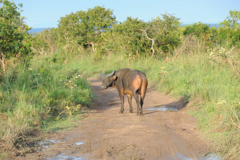 The national park's varied terrain is home to a variety of large mammals, including the African forest buffalo (Syncerus caffer nanus). Photo courtesy of Expert Africa