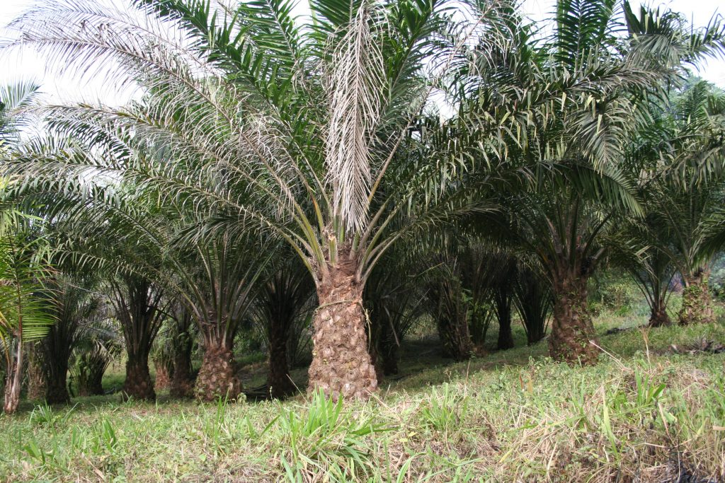 It's been estimated that, over the next five years, as much as 22 million hectares (or more than 54 million acres) of land in Central and West Africa could be converted to oil palm plantations.
