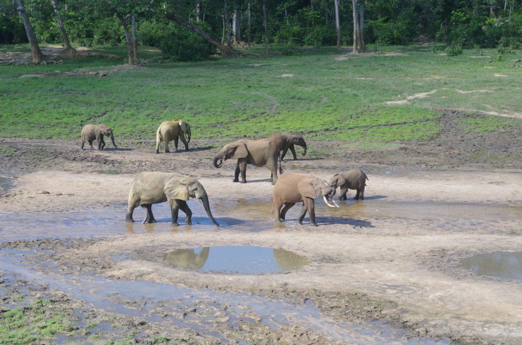 Pendant la crise, des braconniers avaient profité de l'insécurité pour abattre des éléphants et d'autres espèces protégées.