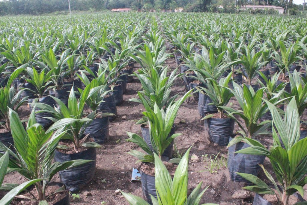 According to a study published in the journal Environmental Research Letters earlier this month, those seven nations, which collectively represent 70 percent of Africa's tropical forests, have good reason to be proactive when it comes to managing the rollout of oil palm operations within their borders. But there is also reason to hope that oil palm expansion in Africa will be done more sustainably in Africa.