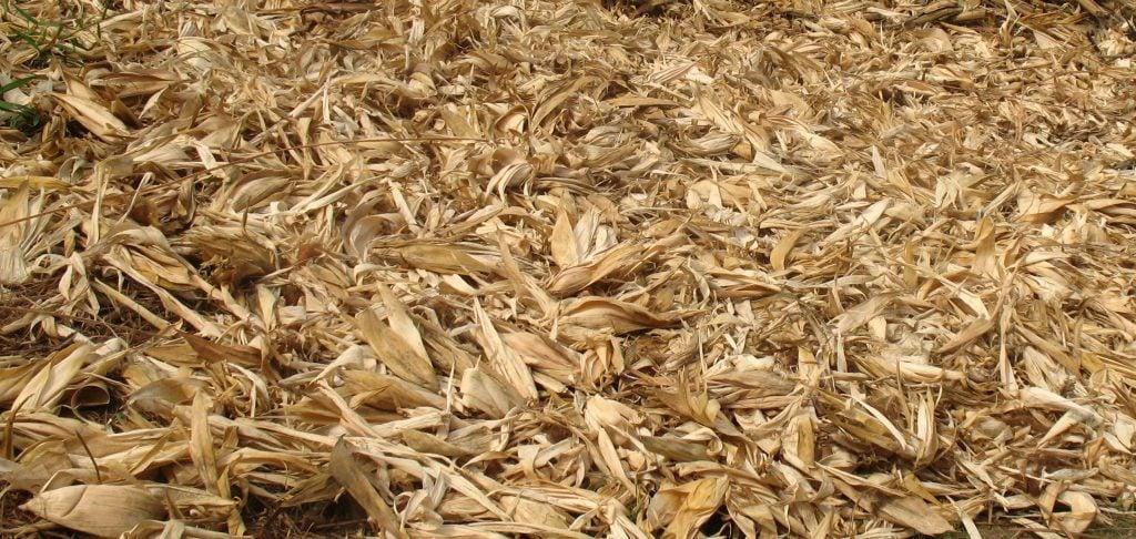 Épluchures de maïs/ Photo/Madeleine Ngeunga