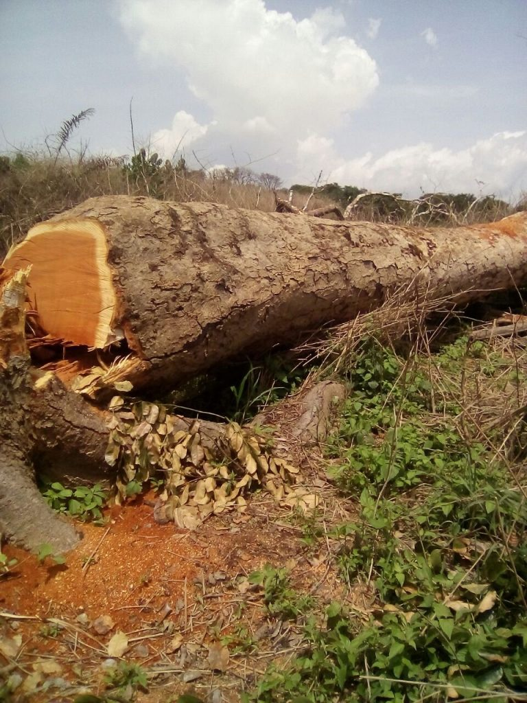 Felled tree in the South Region shows level of deforestation. Photo Credit: forngwa/Africa Assignments