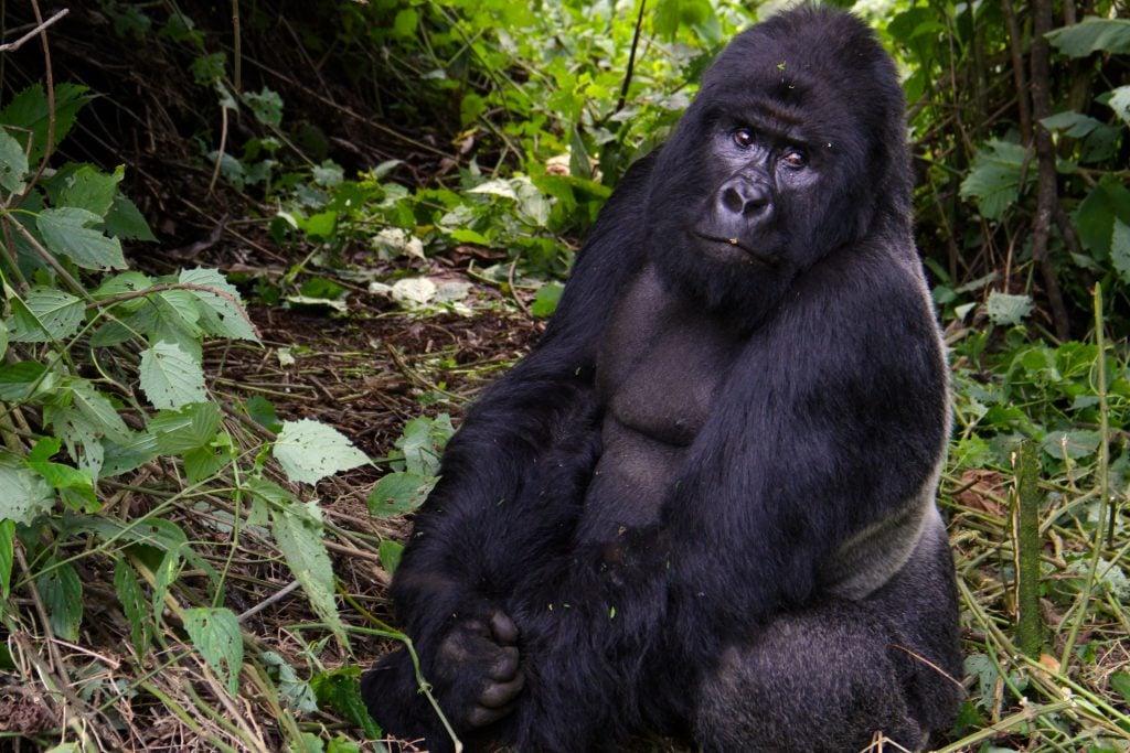 Virunga, le plus ancien parc national d'Afrique et joyau de l'écotourisme congolais, est une zone de biodiversité extraordinaire.