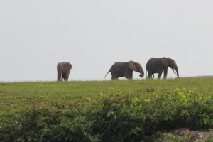 Les éléphants dans le parc de Loango