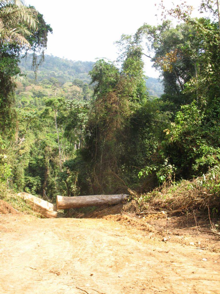 Un arbre abattue au sein d'une unité forestière d'aménagement