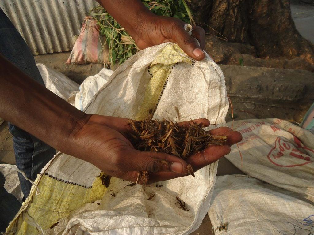 les commerçantes saisonnières spécialistes des insectes comestibles s'inquiètent du décalage des récoltes des insectes