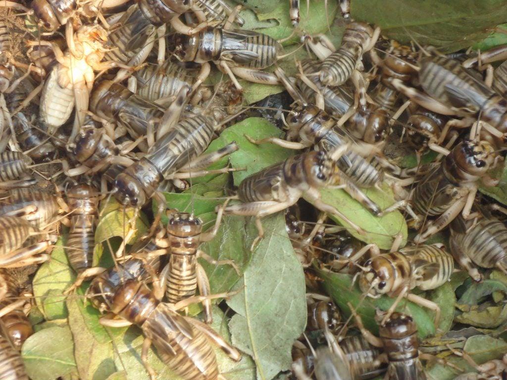 Les insectes contiennent de nombreuses protéines bénéfiques pour la santé