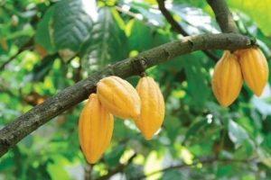 Des cacaotiers sur un arbre