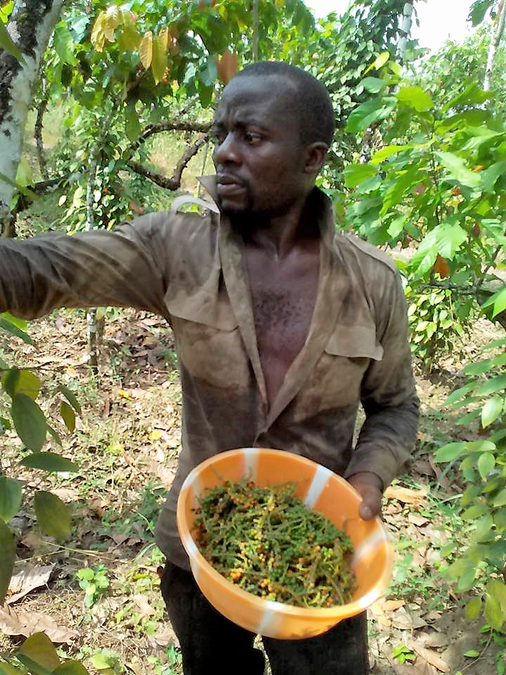 A farmer harvesting Penja pepper. Photo credit/Elias Ngalame