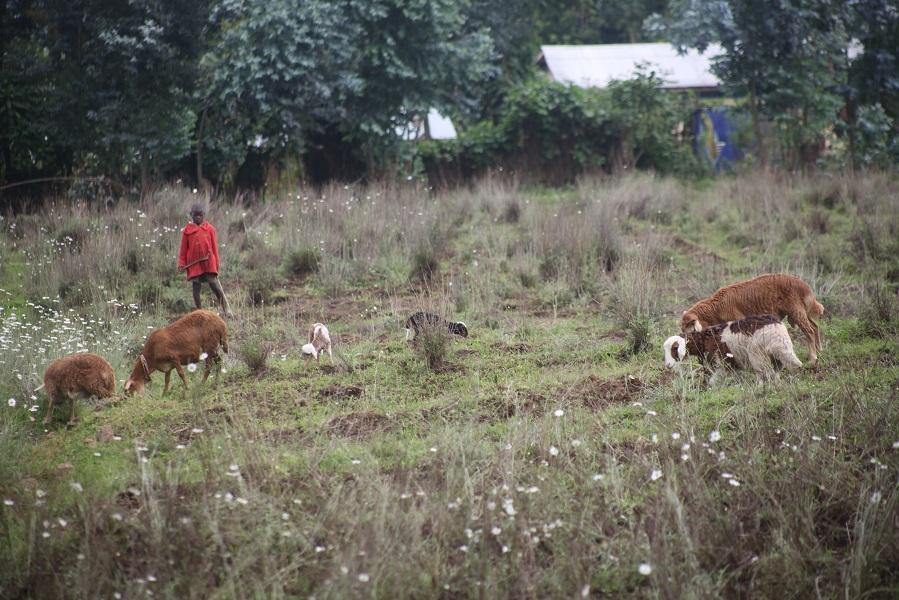 Les villageois élèvent des moutons pour améliorer leur niveau de vie