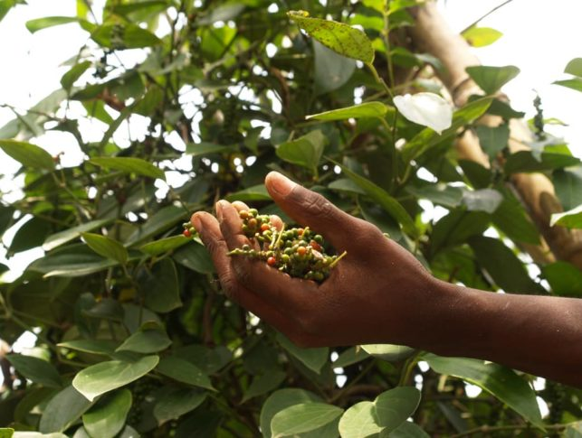 The Penja Pepper is one of the only three African commodities, which also includes Oku honey from Cameroon and ZiamaMacenta coffee from Guinea, to be given such a label, prohibiting the product's name frombeing used by producers outside of its original region.