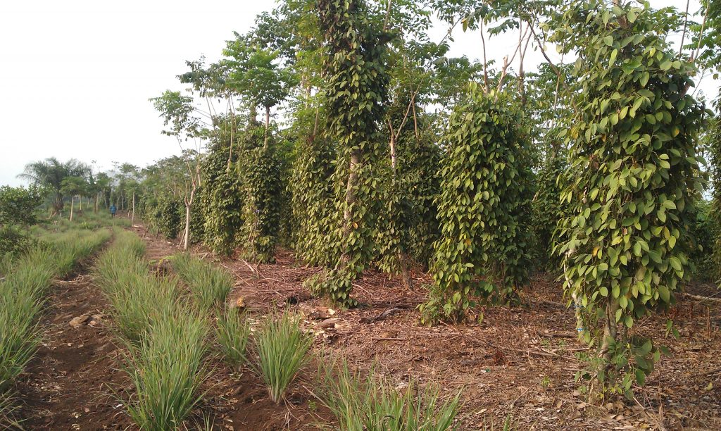 Penja white pepper plantation. Photo credit/Axel and Sophie Steenberg