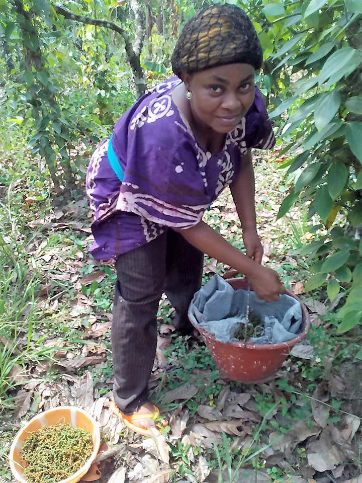 Small scale farmers particularly women are getting involved in the production of the Penja pepper as it provides considerably stable income for families. Photo credit/Elias Ngalame