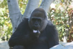 Gorilla nest counts went down when logging began, but they returned to feed on new vegetation growing in logged forests. Photo by Rhett A. Butler/Mongabay.