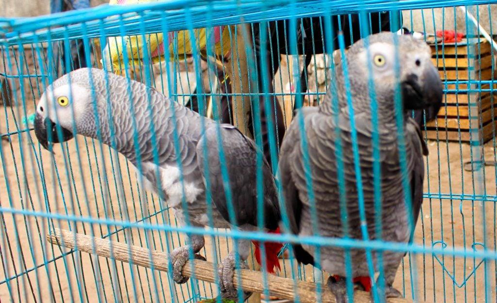 Perroquets gris dit Jaco, en cage, en attente d'être vendus. Photo/InfoCongo