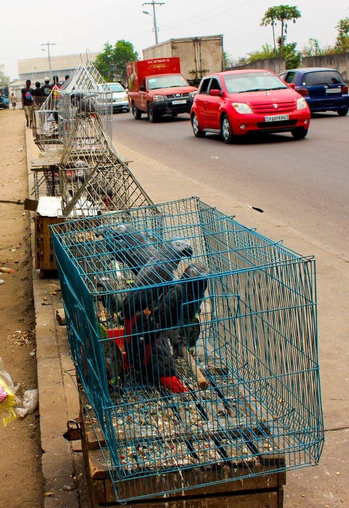 Perroquets gris vendus en plein aire le long de la route à Kinshasa. Photo/InfoCongo