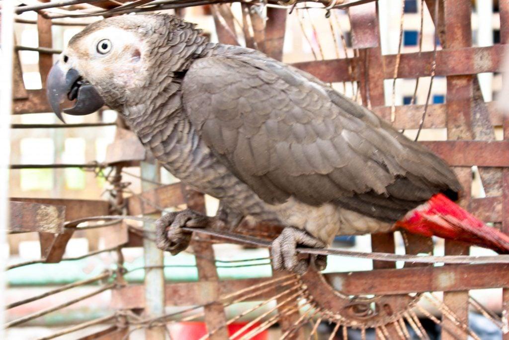 A ce jour, pas un seul inventaire sur le nombre de perroquets gris n'a été fait depuis 1998. Photo/InfoCongo